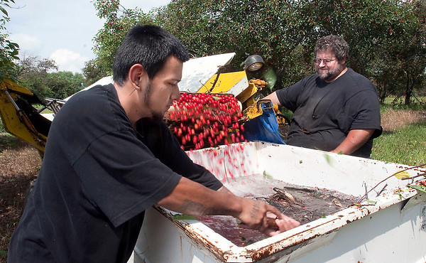 Record-Eagle/Douglas Tesner<br /> Orchard workers Steve Fabiszak and Alfredo Martinez shake tart cherry trees at Black Farms Orchards on Thursday. The crop is coming in a little bit late this year.