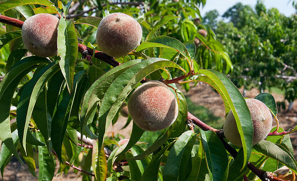 Record-Eagle/Douglas Tesner<br /> Peaches are on the trees at Sleeping Bear Orchards in Empire. This year, Michigan has a bumper crop of the fruit.