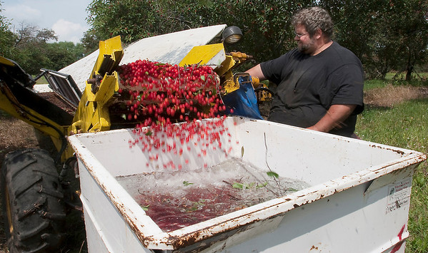Record-Eagle/Douglas Tesner<br /> Orchard worker Steve Fabiszak harvests tart cherries that have been shaken from trees at Black Farms Orchards Thursday.