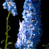 Record-Eagle/Jan-Michael Stump<br /> Delphiniums grow in LeRoy's garden.