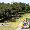 Record-Eagle/Jan-Michael Stump<br /> A tractor pulls a wagon full of visitors through an orchard at the Northwest Michigan Horticultural Research Station, operated by Michigan State University, during Friday's Cherry Connection: Bringing Together Festival, Farm and Fruit Friday.