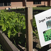Record-Eagle/Keith King<br /> Dragon Tongue Bean grows at Interlochen Community School.