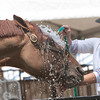 Record-Eagle/Douglas Tesner<br /> Kate Reuter gives her Dutch warmblood stallion, Online, a bath at Horse Shows by the Bay. Online is a 13-year-old jumper.