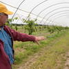 "Record-Eagle/Douglas Tesner<br /> Acme Township cherry farmer Dennis Hoxsie explains the technology behind his ""cherry tunnels"" along M-72 that cover more than 500 dwarf cherry trees at farm. The tunnels will help create an earlier and higher-quality sweet cherry crop, meaning Hoxsie won't have to truck in cherries from southern Michigan for the National Cherry Festival."