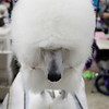 Record-Eagle/Keith King<br /> A standard poodle named Calipso stands on a grooming table.