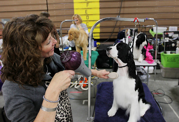 Record-Eagle/Keith King<br /> Denise Whitney, of Grand Rapids, uses a hair dryer as she grooms her English springer spaniel Audrina on Friday during the Grand Traverse Kennel Club's 67th, 68th and 69th All Breed Dog Shows, Obedience and Rally Trials. The annual Cherry Capital Classic dog show will take place through Sunday at the Grand Traverse County Civic Center.