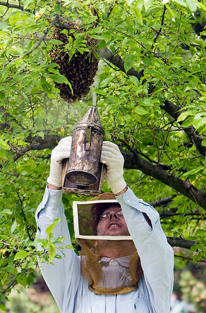 Record-Eagle/Douglas Tesner<br /> Beekeeper Mike Street uses smoke to calm a cluster of bees before removing it from a tree in front of the Stromberg-Carlson manufacturing office in Garfield Township.