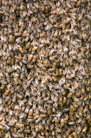 Record-Eagle/Douglas Tesner<br /> One cluster contained 80,000 bees and the other one was 20,000 bees.