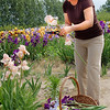 Record-Eagle/Sarah Brower<br /> Myriam Parker picks irises at Paul and Wilma Alpers' centennial farm on M-72 West in Leelanau County.
