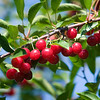 Record-Eagle file photo/Jan-Michael Stump<br /> Estimates on this year's tart cherry harvest vary widely among growers, processors and government agencies.
