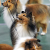 Record-Eagle/Keith King<br /> Shetland sheepdogs are shown during the Grand Traverse Kennel Club's 67th, 68th and 69th All Breed Dog Shows, Obedience and Rally Trials.