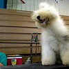 Record-Eagle/Jan-Michael Stump<br /> A fan blows air on April, an Old English sheep dog, who sits on a grooming table near George Adams at the dog show.