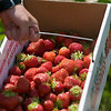 Record-Eagle/Jan-Michael Stump<br /> Nathan Hullman, 8, carries a basket of strawberries while picking the fruit.