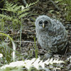 Record-Eagle/Lisa Perkins<br /> A baby barred owl rests on the forest floor after testing its flying skills. Its mother was above keeping a close watch over the little one.