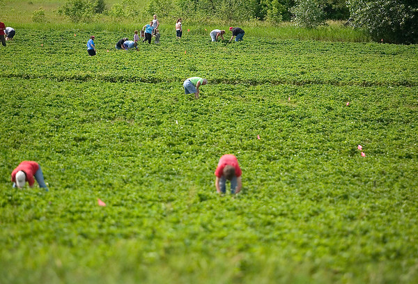 Record-Eagle/Jan-Michael Stump<br /> People have ten acres of fields to pick strawberries at Urka's farm.