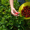"Record-Eagle/Jan-Michael Stump<br /> Austin Burmania, 14, picks strawberries with his family. ""We used to beg and borrow for homemade jam, and now we're getting into the tradition of making it,"" said Austin's mother, Lauri."