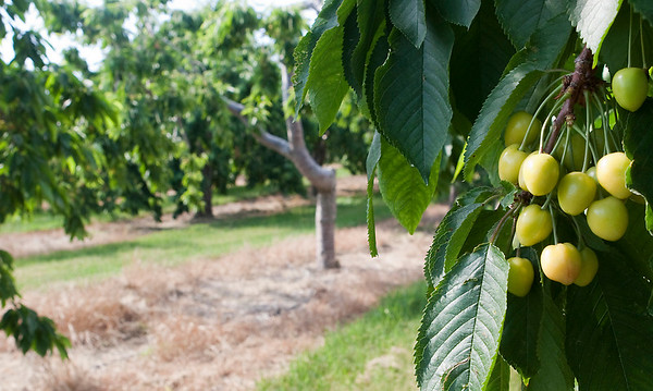 Record-Eagle/Douglas Tesner<br /> Cool spring weather slowed development of northern Michigan's signature fruit and the cherry harvest is expected to be at least a week behind its normal schedule.