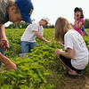 Record-Eagle/Jan-Michael Stump<br /> From left, Drew Burmania, 16, Don Kastenschmidt, Hannah Kastenschmidt, 11, and Lydia Kastenschmidt, 5, pick strawberries at Urka's strawberry farm near Kingsley on Saturday morning.