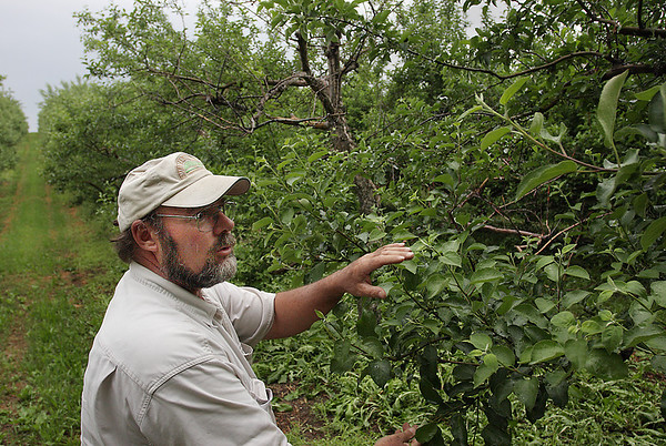 Record-Eagle/ Keith King<br /> Bill Casier, of Sleeping Bear Orchards in Empire, points out some of his Empire apple trees that have displayed dramatically fewer numbers of fruit compared to prior years because of frost.