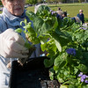 Record-Eagle/Douglas Tesner<br /> Carolyn Wentworth selects a plant as members of the Friendly Garden Club Traverse City plant the flower bed in the Open Space. The bed has been planted by the 60-member community service club since 1987. This year, the 5,800 plants provided by the agriscience-Nature Resources Program at TBAISD Career-Tech Center.