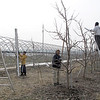 Record-Eagle/Bill O'Brien<br /> A work crew prunes trees in an apple orchard along M-72 in Williamsburg.