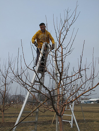 Record-Eagle/Bill O'Brien<br /> Jorge Diaz prunes an apple tree at the Hoxsie Farm along M-72 in Williamsburg on Thursday. Warm weather in recent days means farmers can get a jump on their work this season, but don't want to see their fruits and crops developing too early.