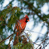 Record-Eagle/Jan-Michael Stump<br /> A cardinal hangs out near Tendercare in Suttons Bay.