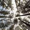 Record-Eagle file photo/Jan-Michael Stump<br /> An old growth white pine forests at Hartwick Pines State Park.