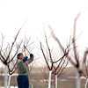 Record-Eagle/Jan-Michael Stump<br /> Gary Warren trims tart cherry trees on his Old Mission Peninsula orchard off Island View Road on a foggy Friday morning. Warren said it's best to trim the trees while they're still dormant in the winter time.