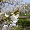 Record-Eagle/Douglas Tesner<br /> Sweet cherry trees bloom along M-22 in Leelanau County just south of Suttons Bay.