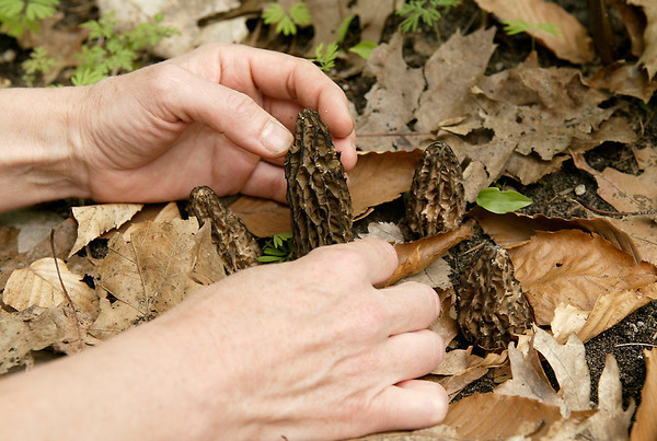 Record-Eagle/Douglas Tesner<br /> A Leelanau County resident holds morel mushrooms. Few are anxious to share the spots where they find morels.