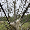 Record-Eagle/ Keith King<br /> Tent caterpillars are abundant on a tree in Leelanau County on Friday.
