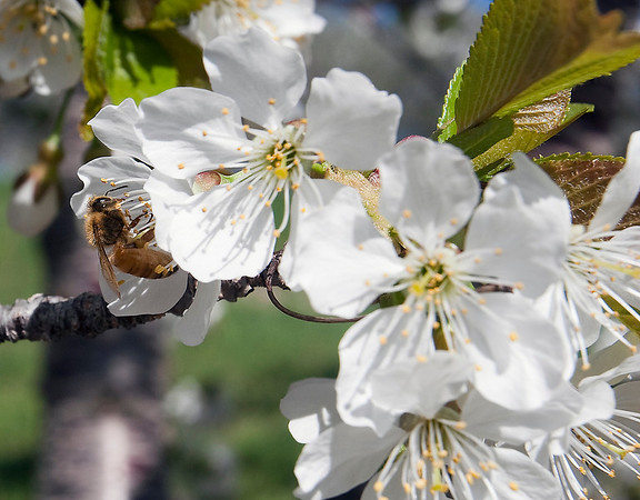 Record-Eagle/Douglas Tesner<br /> A honey bee works on a sweet cherry tree along M-22 in Leelanau County, just south of Suttons Bay.