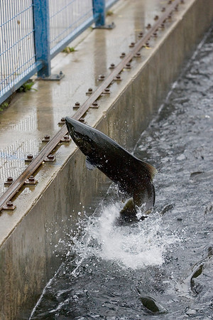 Record-Eagle/Keith King<br /> A salmon jumps at the James Patrick Price Fish Trap, Transfer and Harvest Facility in Traverse City.