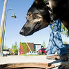 Record-Eagle/Jan-Michael Stump<br /> Sable, a rescue dog trained to sniff out human sewage and detergents, checks a storm sewer near Lake Street on Friday morning with Scott Reynolds, of Environmental Canine Services, LLA.
