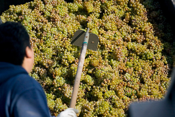 Record-Eagle/Jan-Michael Stump<br /> Jesus Martinez loads riesling grapes into a crusher to remove their stems before being pressed on Wednesday morning at Black Star Farms on Old Mission.