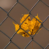 Record-Eagle/Jan-Michael Stump<br /> Wind keeps a leaf in place against a fence at Elmwood Township's Cherry Bend Park. The autumn color display is winding down for the season.