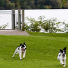 "Record-Eagle/Douglas Tesner<br /> Sam Larsen watches as his two dogs, Maggie and Lizzy, take off after a ball he threw for them in Hull Park. The dogs, 4- year-old English Springer Spaniels, are sisters. ""They just love coming here,"" he said."