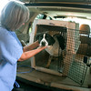 "Record-Eagle/Douglas Tesner<br /> Veterinarian Karen Mertaugh brings in a dog from the Cherryland Humane Society to be neutered during a ""neuter-a-thon"" at the Animal Medical Center located on U.S. 31 South. A total of 13 dogs were neutered in one day."