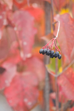Record-Eagle/Jan-Michael Stump<br /> Cranberry viburnum, a late-winter food of ruffed grouse.