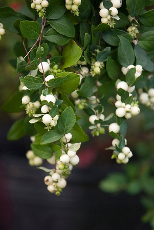 Record-Eagle/Jan-Michael Stump<br /> Snowberry, a food source for birds.
