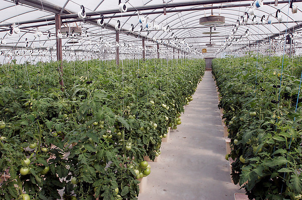 Record-Eagle/Douglas Tesner<br /> <br /> TLC Tomatoes produce over 35,000 pounds of hydroponic grown tomatoes annually.  According to owner Jim Beaton, orders for fresh tomatoes have increase since the outbreak of salmonella in tomatoes. In addition Beaton grows fresh hydroponic  lettuces, herbs and petunias