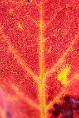 Record-Eagle/Jan-Michael Stump<br /> Traces of green chlorophyll remain in a maple leaf as its fall color emerges.