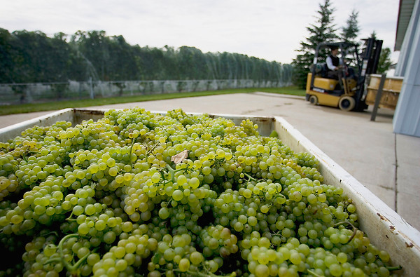 Record-Eagle/Keith King<br /> Harvested Pinot blanc grapes lie in a tank prior to being processed at Brys Estate Vineyard and Winery on Old Mission Peninsula.