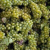 Record-Eagle/Keith King<br /> Harvested Pinot blanc grapes lie in a tank before being processed at Brys Estate Vineyard and Winery on Old Mission Peninsula.