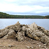 Record-Eagle/Jan-Michael Stump<br /> An old tree stump is covered with zebra mussels.