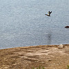 Record-Eagle/Jan-Michael Stump<br /> A duck flies past a portion of newly exposed land during the Brown Bridge Pond drawdown.