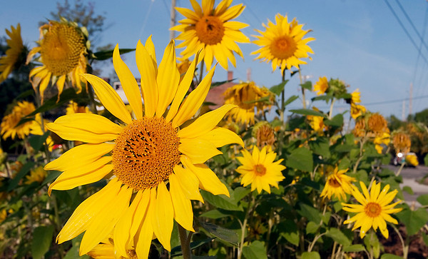 Record-Eagle/Douglas Tesner<br /> Sunflowers bask in the sun on Lake Avenue in downtown Traverse City.