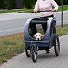 Record-Eagle/Douglas Tesner<br /> Nancy Clark, a former Traverse City resident, takes her dog Bailey, 14, for his daily walk down Railroad Avenue using a pet stroller. Bailey suffers from arthritis and Clark, who now lives in south Texas, is visiting the area.