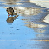 Record-Eagle/Jan-Michael Stump<br /> A female mallard drinks from a puddle in the parking lot of Clinch Park on Monday in Traverse City